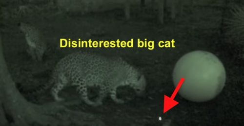 Big cat not stimulated by laser pointer