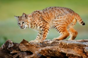 Can bobcats be orange?