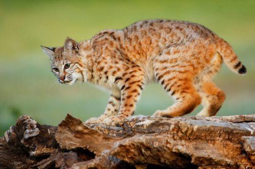 Can bobcats be orange?