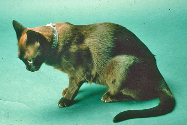 Burmese cat with ventroflexion