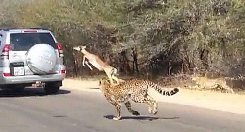 Cheetah loses impala due to tourism
