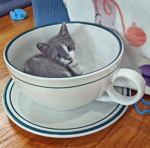 Cute kitten in a teacup