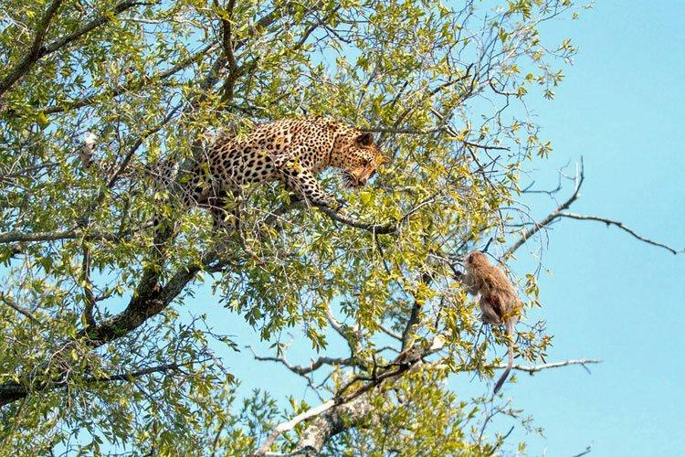 Leopard hunts a baby monkey