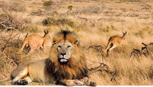 Lion in Australia!!