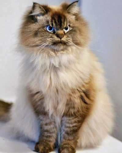 Ragdoll with fierce face