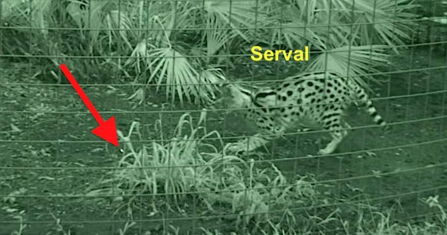 Serval stimulated by a laser pointer