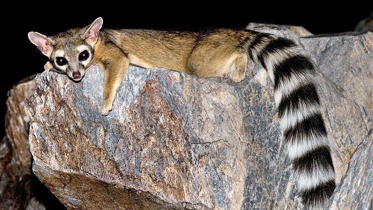 Ring-tailed cat (not a cat)