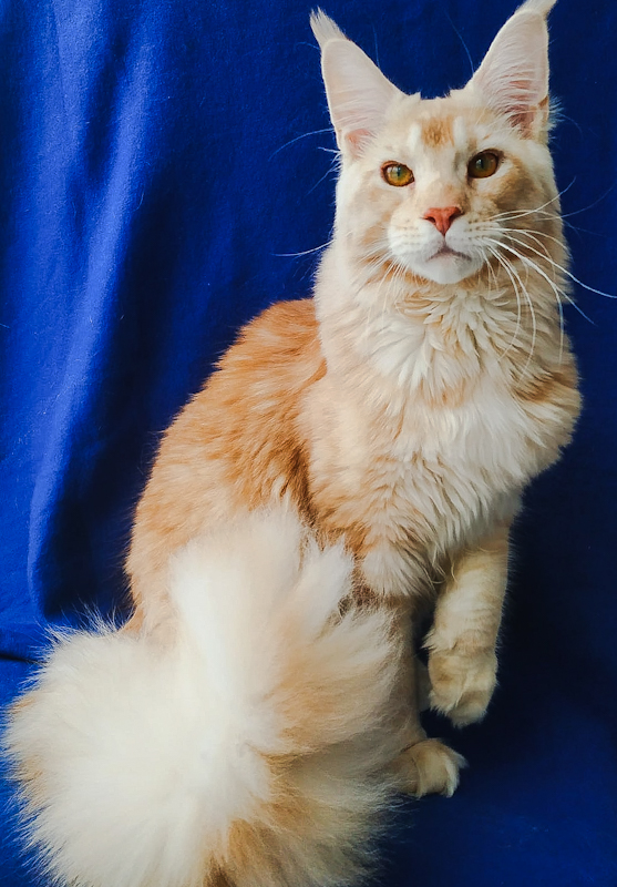 Stunning flame coloured Maine Coon
