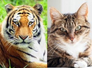 Tiger and domestic cat