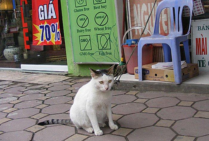 Cat on leash in Vietnam