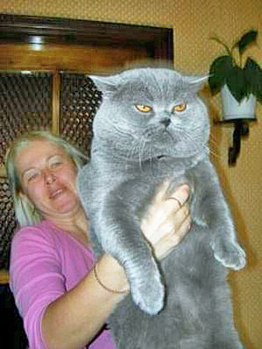 Enormous British Shorthair made in Russia