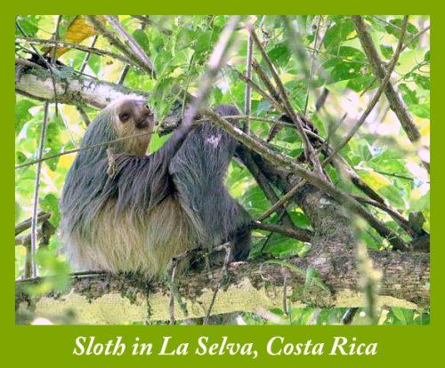 Sloth in La Selva Biological Station & Reserve