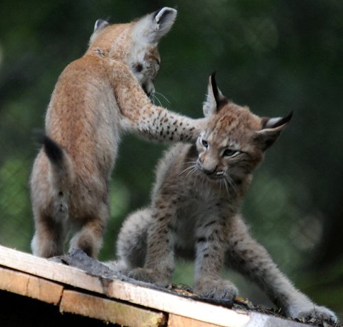 Lynx kittens play-fighting