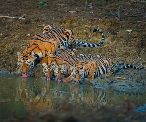 Tigress and her cubs drinking