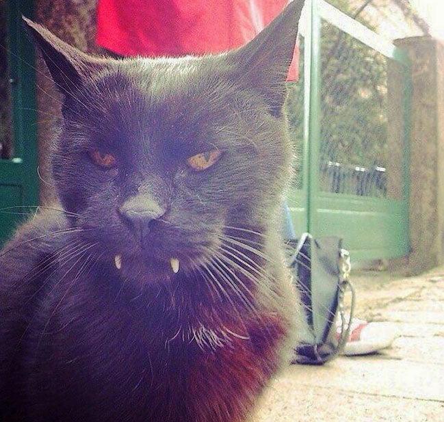 Vampire cat in Poland