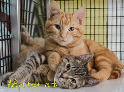 Factors affecting the success rate of shelter cat adoptions