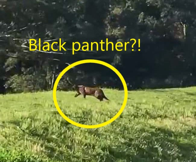 Black panther or domestic or feral cat?