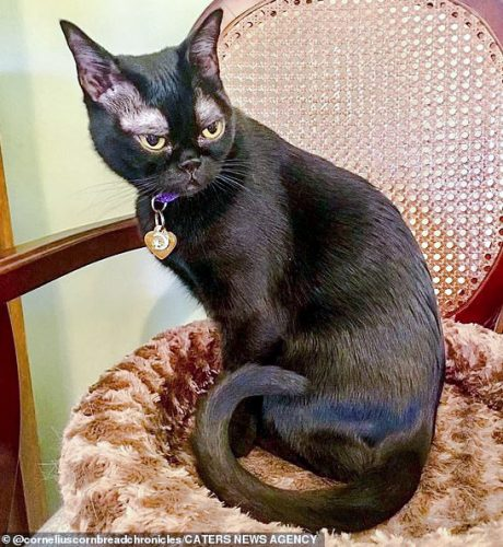 Bombay cat with thin fur above the eyes
