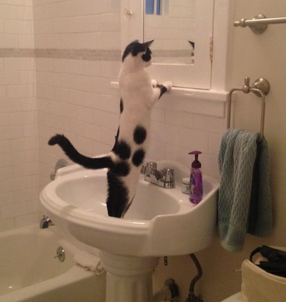 Cat using bathroom like human