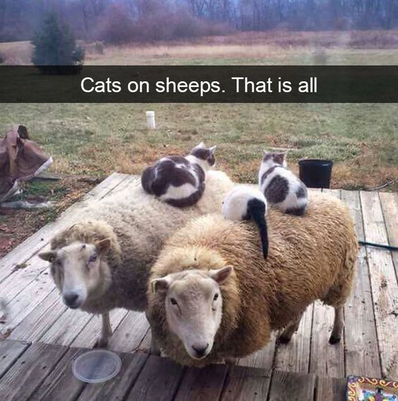 Cats like sheep