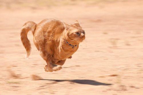 Galloping cat