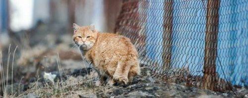 Icelandic feral cat