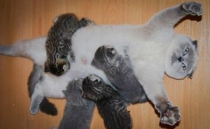 Kittens suckling at mother's breast