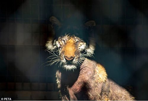 Bald female tiger Lila confined to concrete and steel cage the many years is desperately stressed