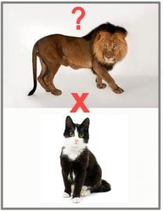 Lion x domestic cat