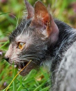 Lykoi cat profile