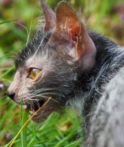 Lykoi cat profile