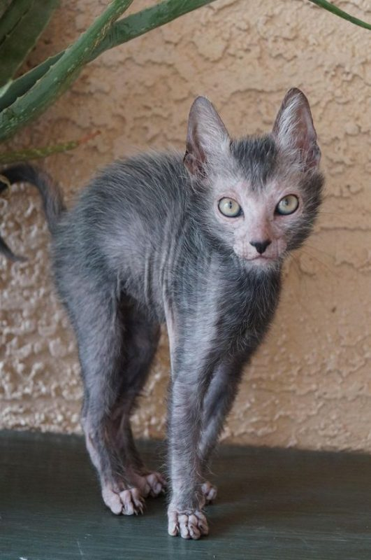 Lykoi Cat - Defensive pose