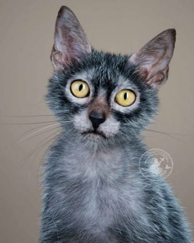 Lykoi Cat Portrait