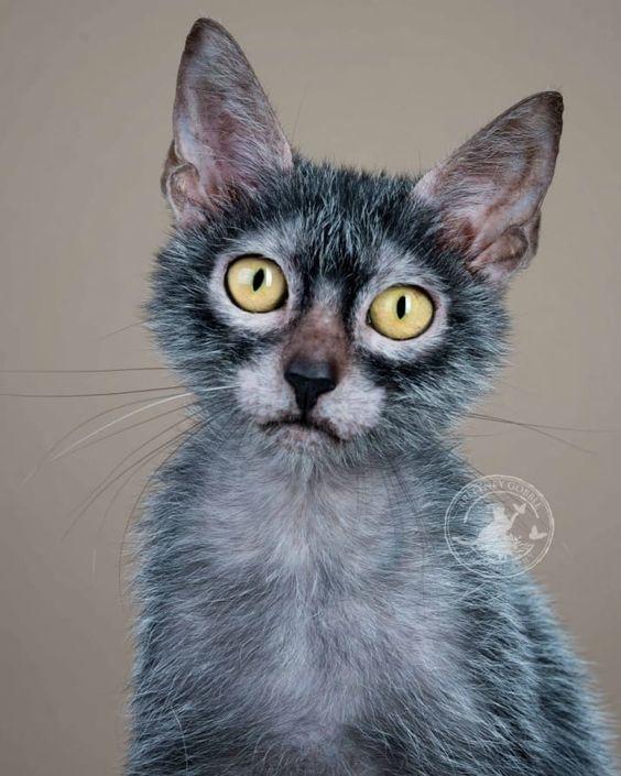Lykoi Cat Portrait