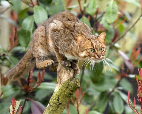 Rusty spotted cat by Colin Langford on 500px