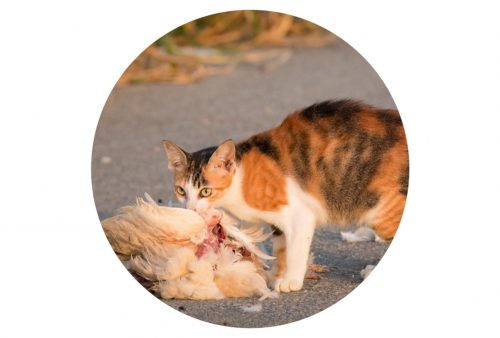 Cat eating a chicken