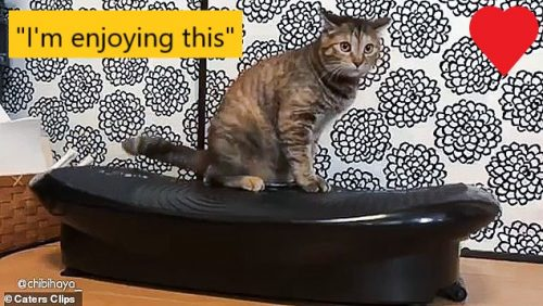 Cat enjoys vibrating weight loss machine