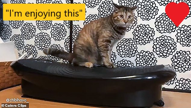 Cat enjoys vibrating weight loss machine