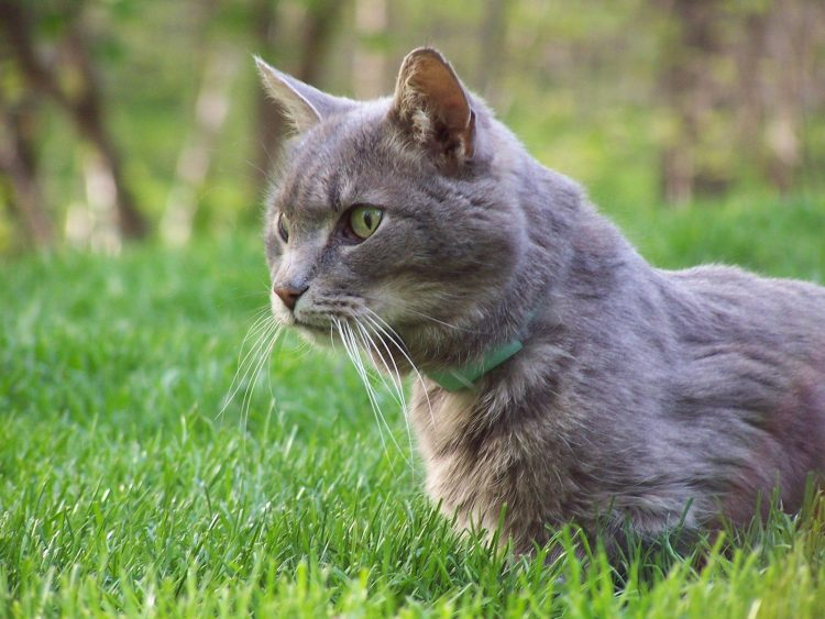 Cat stalking during hunting. This is a copyright free image on the Internet