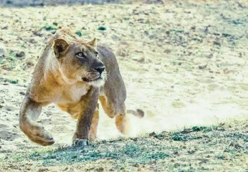 Frightening lion