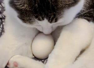 Give a cat an egg and they protect it?