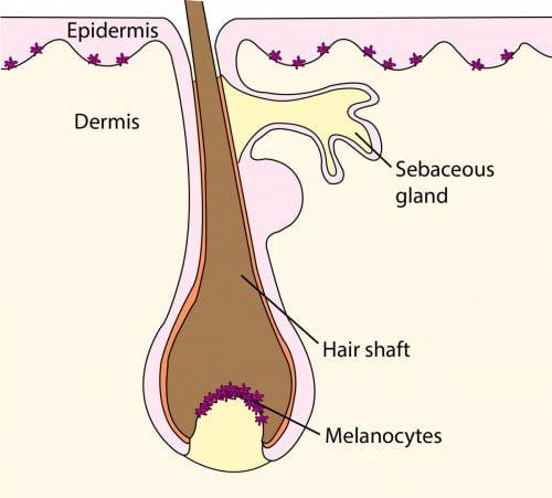 Hair follicle showing melanocyte at base