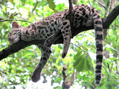 Margay resting in a tree, typical behavior