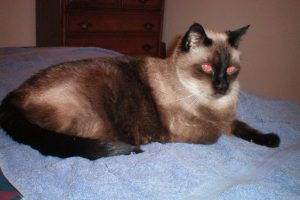 Old Siamese with dark coat