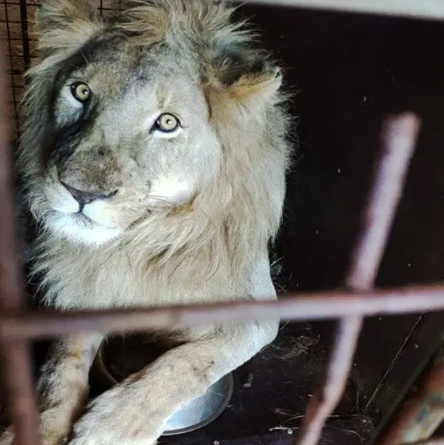 Captive lion being abused in SA