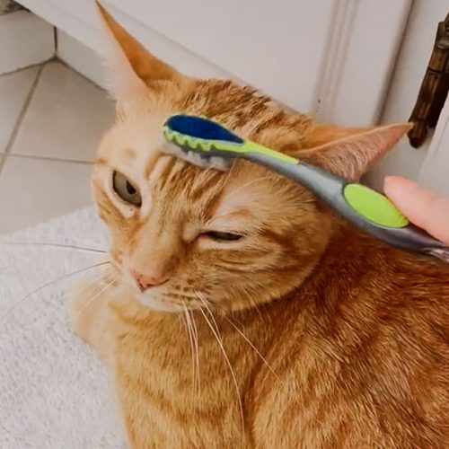 Cat being groomed with a toothbrush