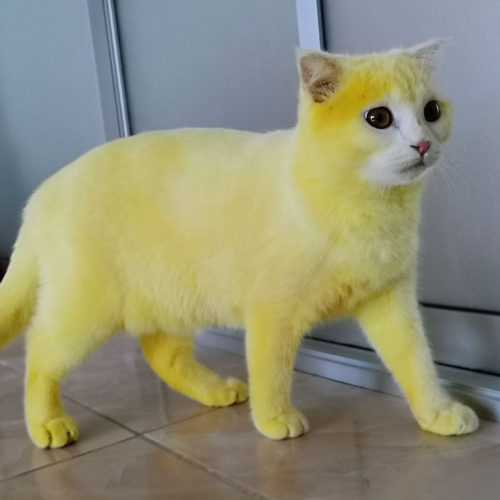 Turmeric scrub turns cat with fungal infection bright yellow