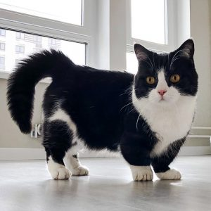 Manchester a dwarf cat living in Moscow