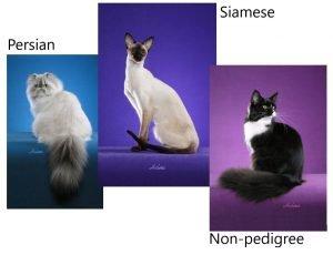 Persian Siamese and non-pedigree cats