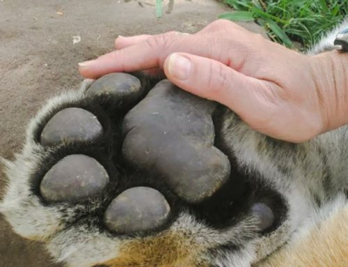 Picture of a tiger paw showing its enormous size